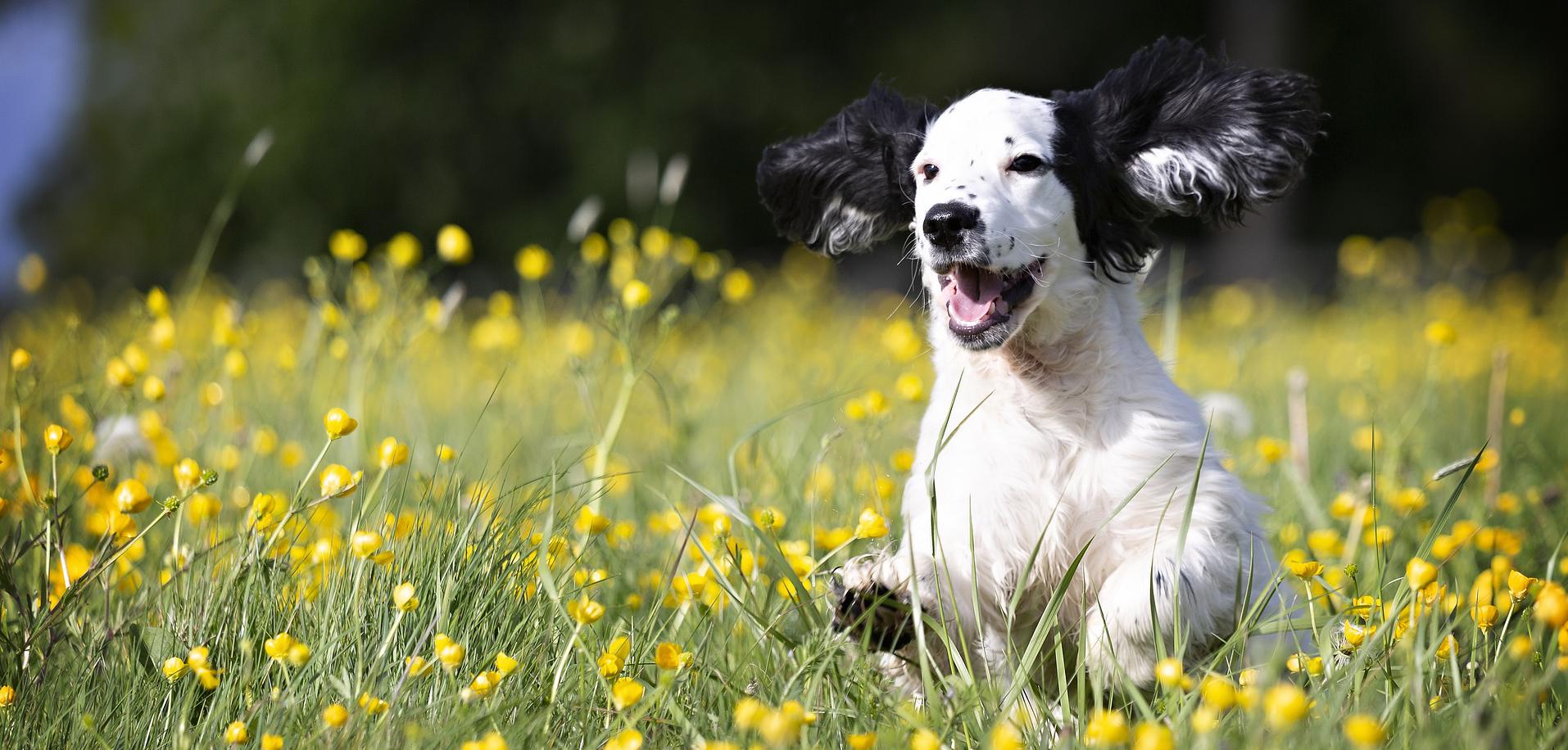 Welpe rennt durchs Blumenfeld Hundephysio Hundetraining Wilsdruff