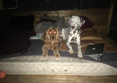 Hundepension Hundephysio Wilsdruff Dalmatiner liegt