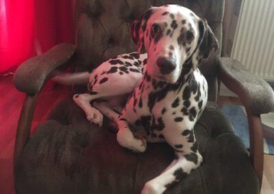 Dalmatiner im Schaukelstuhl Hundepension Hundephysio Wilsdruff