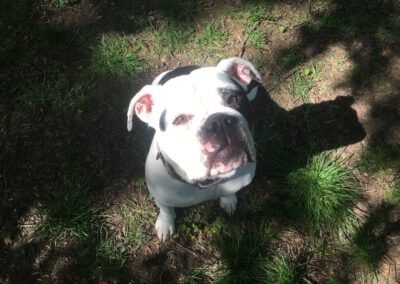 Hundepension Hundephysio Wilsdruff Bulldogge Bonnie