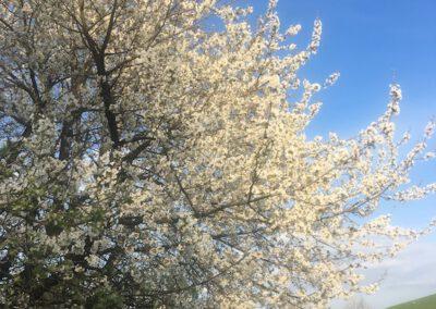 Frühling Kirschblüten Hundepension Hundephysio Wilsdruff