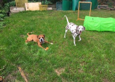 Hundepension Hundephysio Wilsdruff Continental Bulldog mit Ball