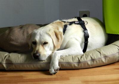 Müder Labrador Hundepension Hundephysio Wilsdruff