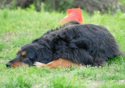 Hundepension Hundephysio Wilsdruff Hovawart schläft