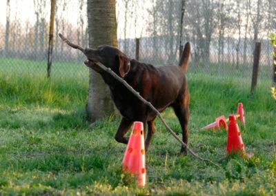 Hundepension Hundephysio Wilsdruff Labrador trägt Stock
