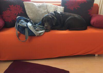 Labrador auf dem Sofa Hundepension Hundephysio Wilsdruff
