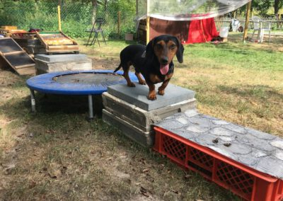 Dackel Hundetraining Turnen Hundepension Wilsdruff