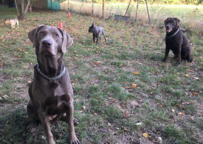 Hundepension Hundephysio Wilsdruff Labrador und Bulldogge