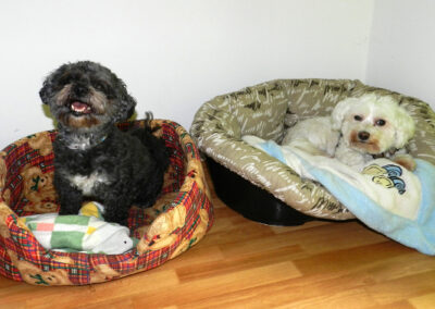 Schlafende Bolonkas Hundepension Hundephysio Wilsdruff