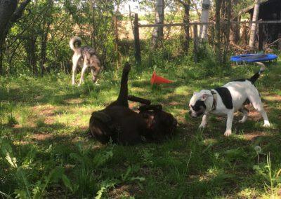 Hundepension Hundephysio Wilsdruff Bulldogge spielt