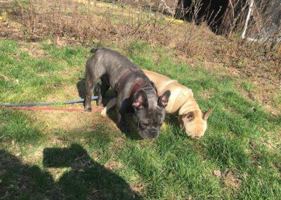 Hundepension Hundephysio Wilsdruff Bulldoggen-Brüder
