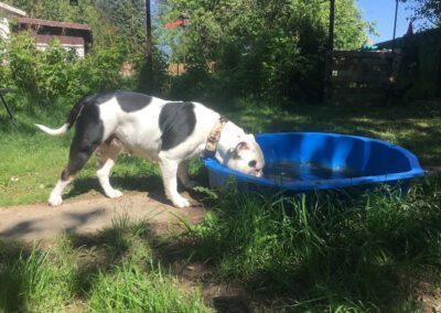 Hundepension Hundephysio Wilsdruff Englische Bulldogge