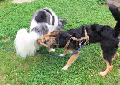 Begegnungstraining Zusammenführung Hundepension Hundephysio Wilsdruff