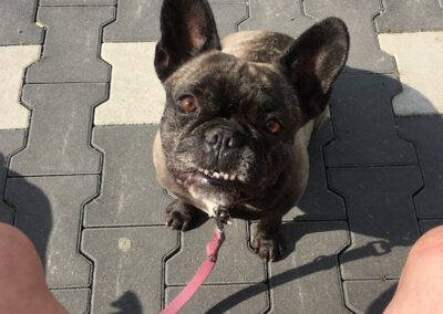 Begegnungstraining Bulldogge Hundepension Hundephysio Wilsdruff