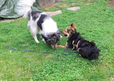 Begegnungstraining Spielende Hunde Hundepension Hundephysio Wilsdruff