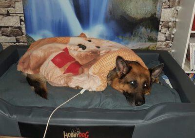 Bioresonanzbehandlung Schäferhund 2 Mobile Hundephysio Tierheilpraxis Wilsdruff