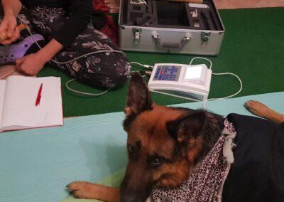 Bioresonanztherapie Schäferhund 2 Mobile Hundephysio Tierheilpraxis Wilsdruff