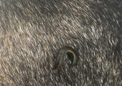 Blutegeltherapie Hund Arko 2