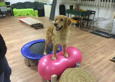 Golden Retriever Balance Degility Hundetraining Hundepension Hundephysio Tierheilpraxis Wilsdruff