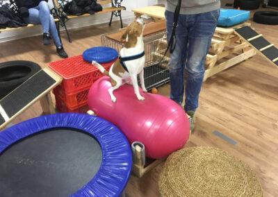 Terrier Wackelkissen Degility Hundetraining Hundepension Hundephysio Tierheilpraxis Wilsdruff