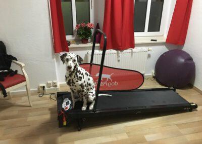 Laufband Dalmatiner sitzt Hundephysio Tierheilpraxis Wilsdruff