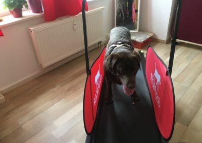 Laufband Labrador Hundephysio Tierheilpraxis Wilsdruff
