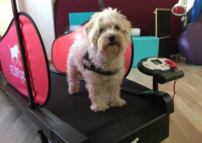 Laufband Muskelaufbau Übung Hundephysio Tierheilpraxis Wilsdruff