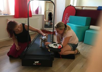 Laufband Muskelaufbau Yorkshire Terrier 2 Hundephysio Tierheilpraxis Wilsdruff