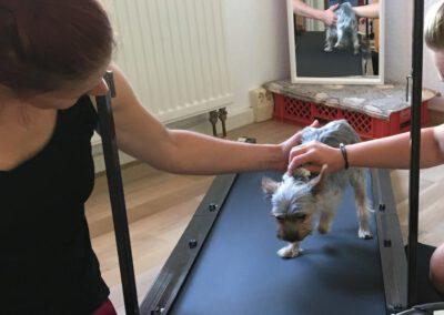Laufband Muskelaufbau Yorkshire Terrier Hundephysio Tierheilpraxis Wilsdruff