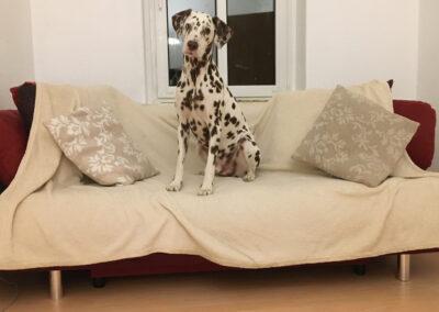 Dalmatiner sitzt auf Sofa Hundepension Hundephysio Tierheilpraxis Wilsdruff