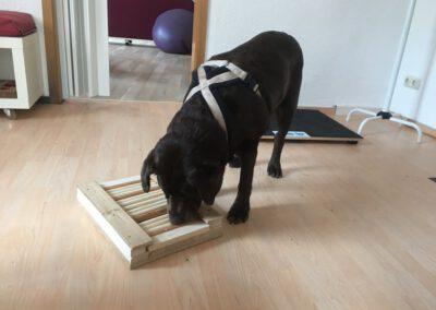 Denkspiele für Hunde Labrador Rollenbrett Hundepension Hundephysio Tierheilpraxis Wilsdruff