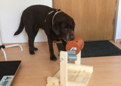 Denkspiele für Hunde Labrador Rolle Hundepension Hundephysio Tierheilpraxis Wilsdruff
