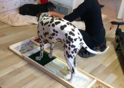 Propriozeption Muskelaufbau Dalmatiner Hundephysio Tierheilpraxis Wilsdruff