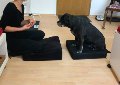 Labrador-Mix Muskelaufbau Balancepad Hundepension Hundephysio Tierheilpraxis Wilsdruff