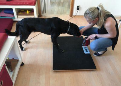 Labrador Übung Waage Hundephysio Tierheilpraxis Wilsdruff
