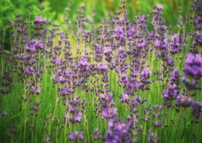 Lavendel Phytotherapie Hund