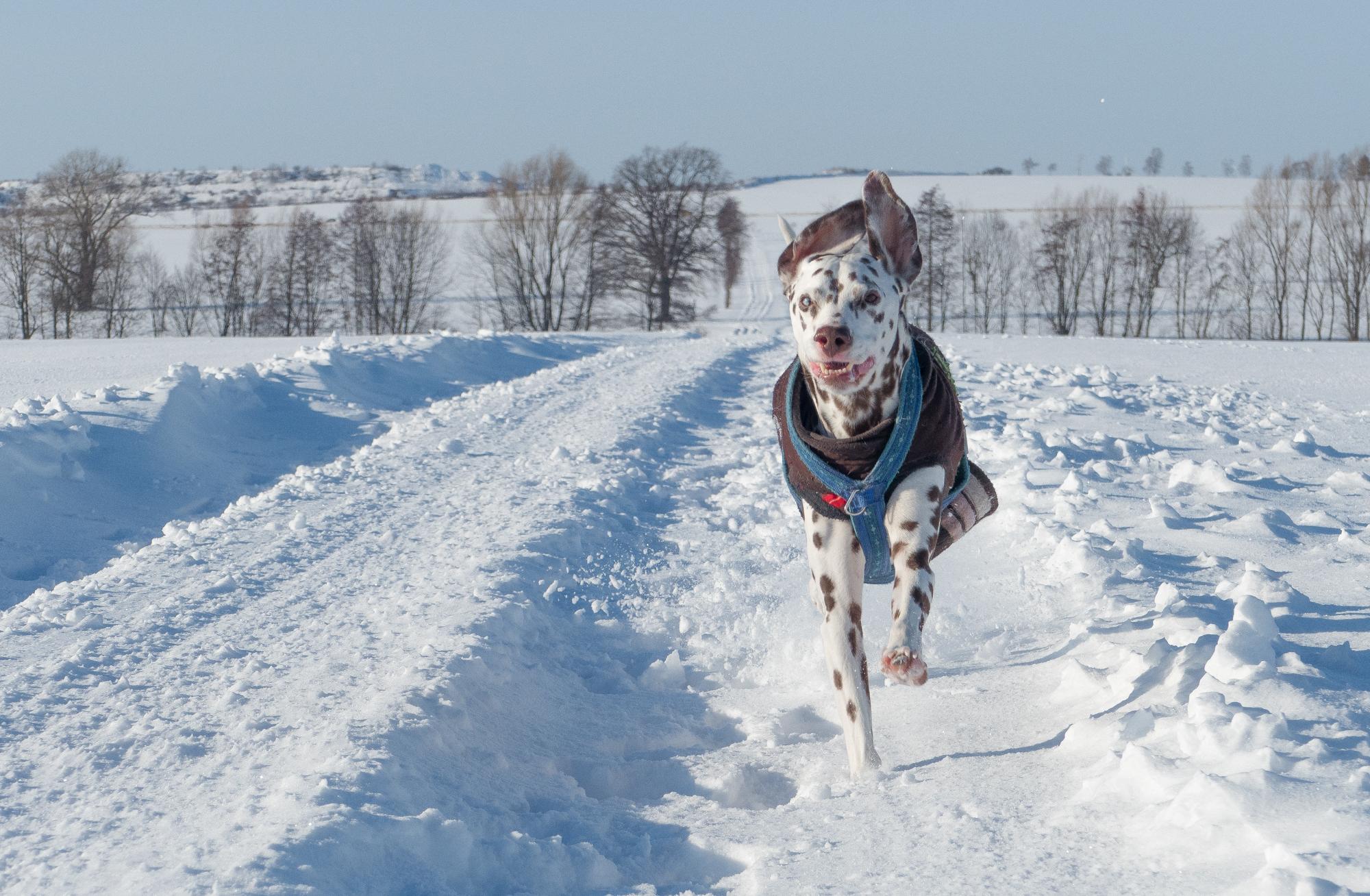 lucky hund rennt im schnee