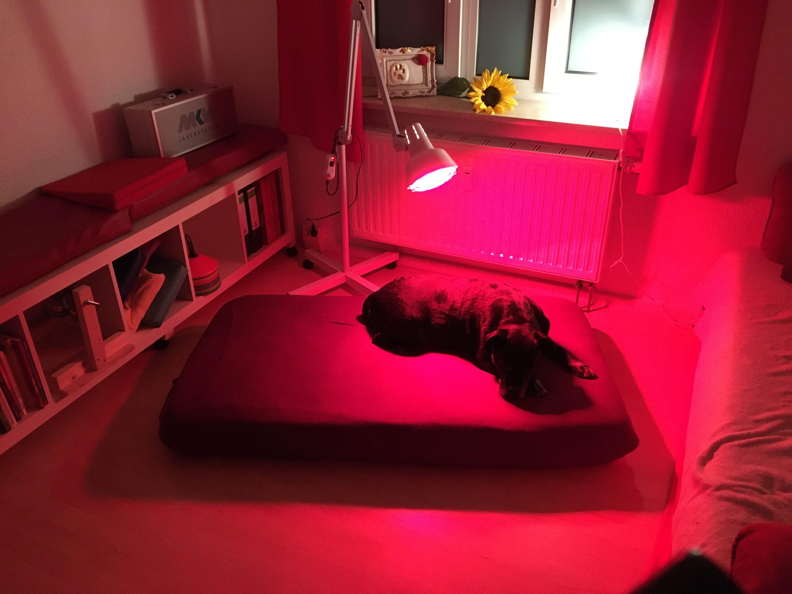 Wärmetherapie Rotlichtlampe Das hilft deinem Hund bei Arthrose Hundephysio Tierheilpraxis Zauberhunde Dresden