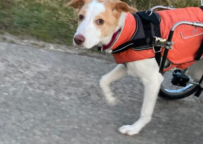 Durchtrittigkeit Rollihund Hundephysio Fachberatung für tierorthopädische Hilfsmittel Dresden