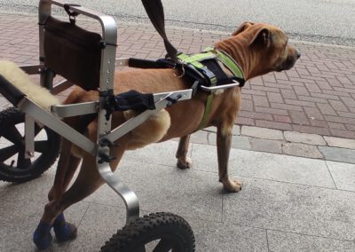 Durchtrittigkeit Hunde-Rollwagen Hundephysiotherapie Zauberhunde