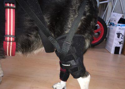 maßgefertigte Kniebandage Benecura Hundephysiotherapie Wilsdruff 2