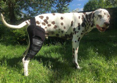 maßgefertigte Kniebandage Benecura Hundephysio Zauberhunde Dresden 2